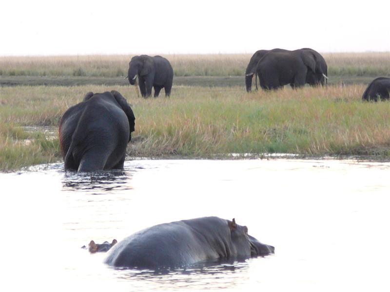 elephant-and-hippo-wallow