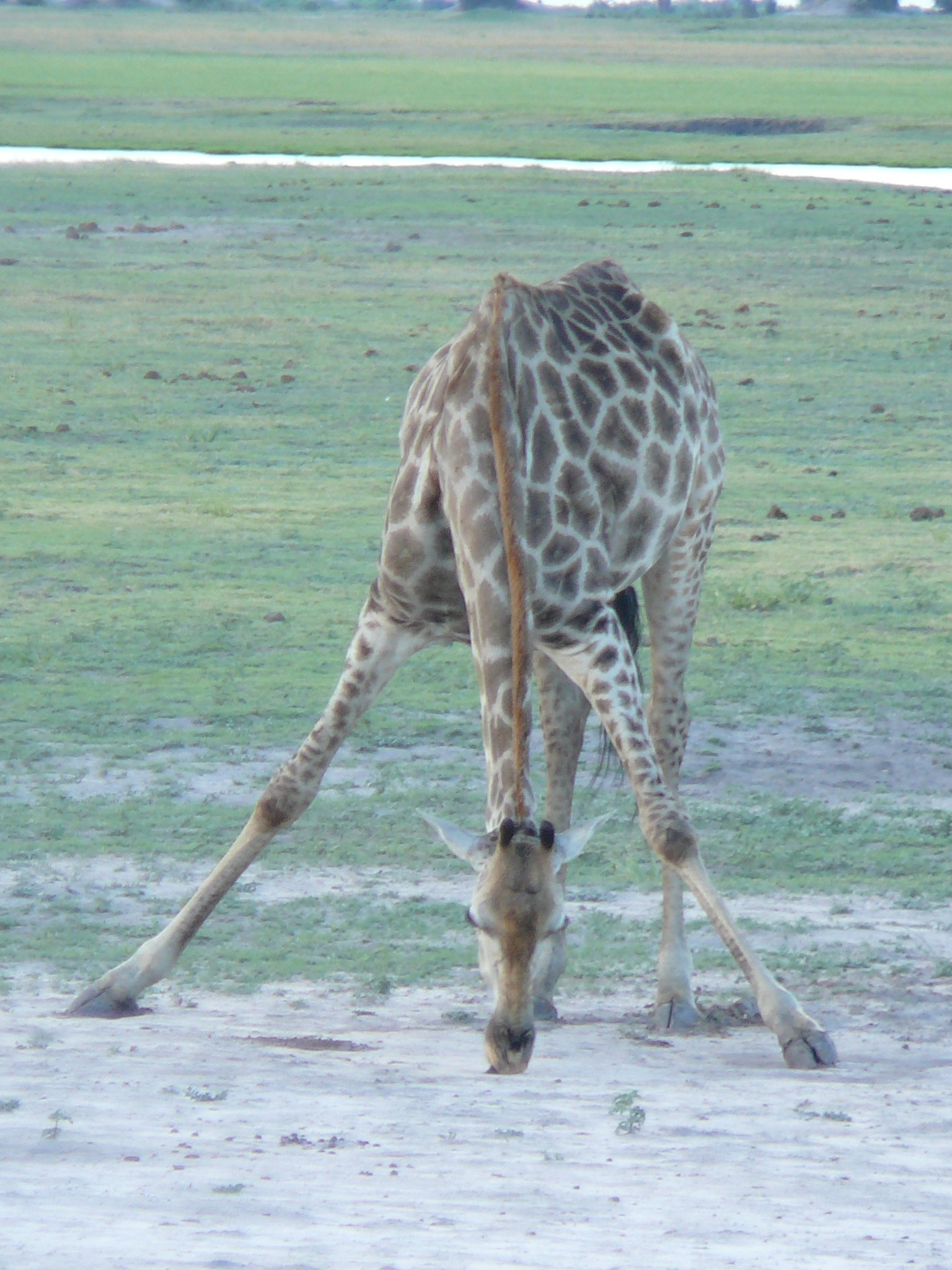 geophagous-giraffe
