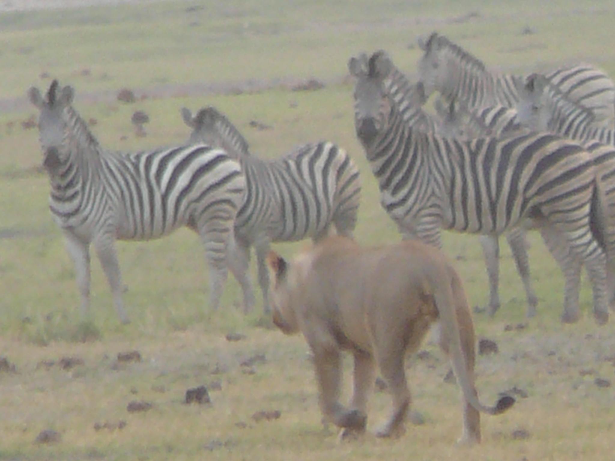 lioness-hunting-zebra