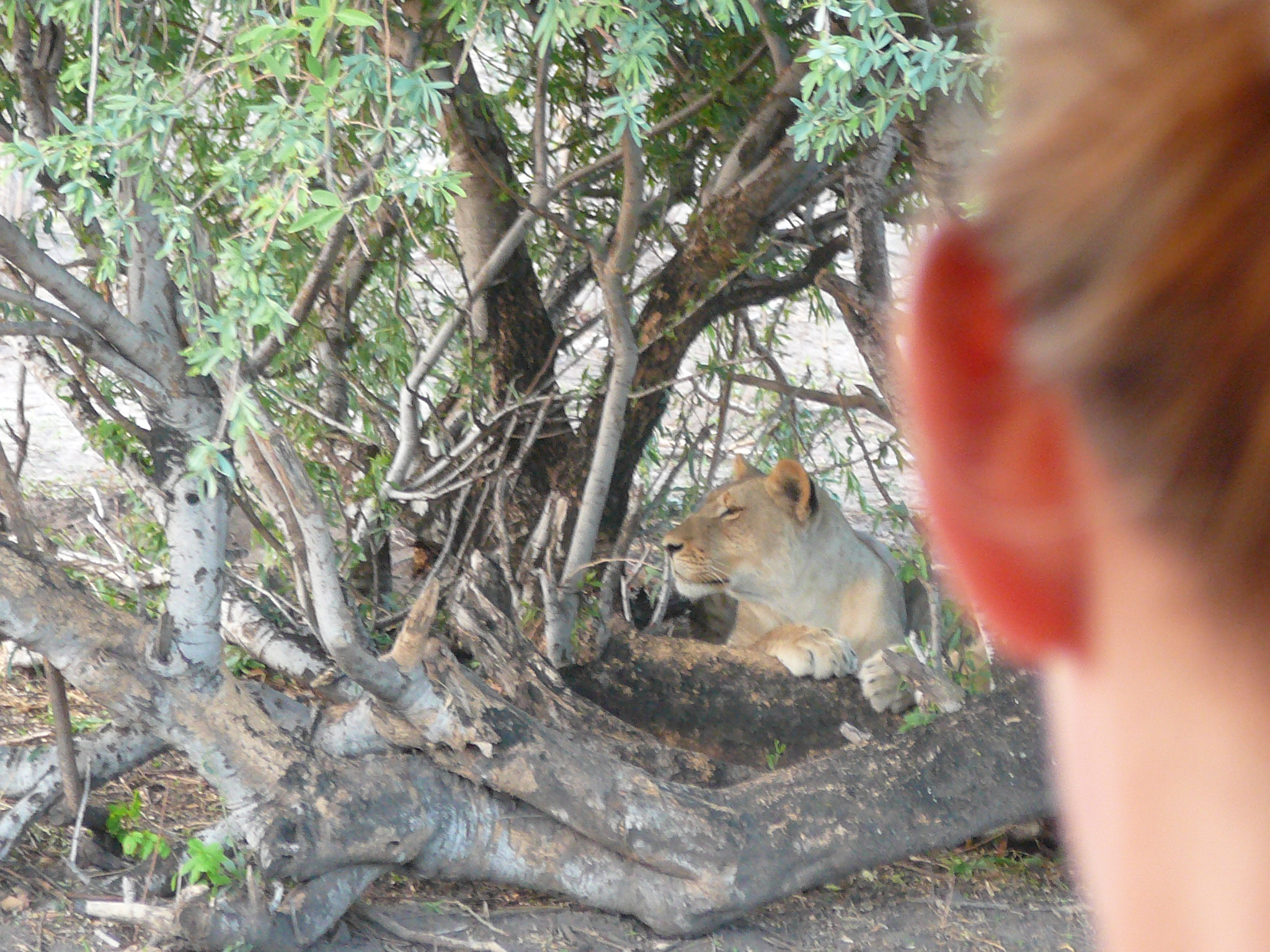 lioness-resting