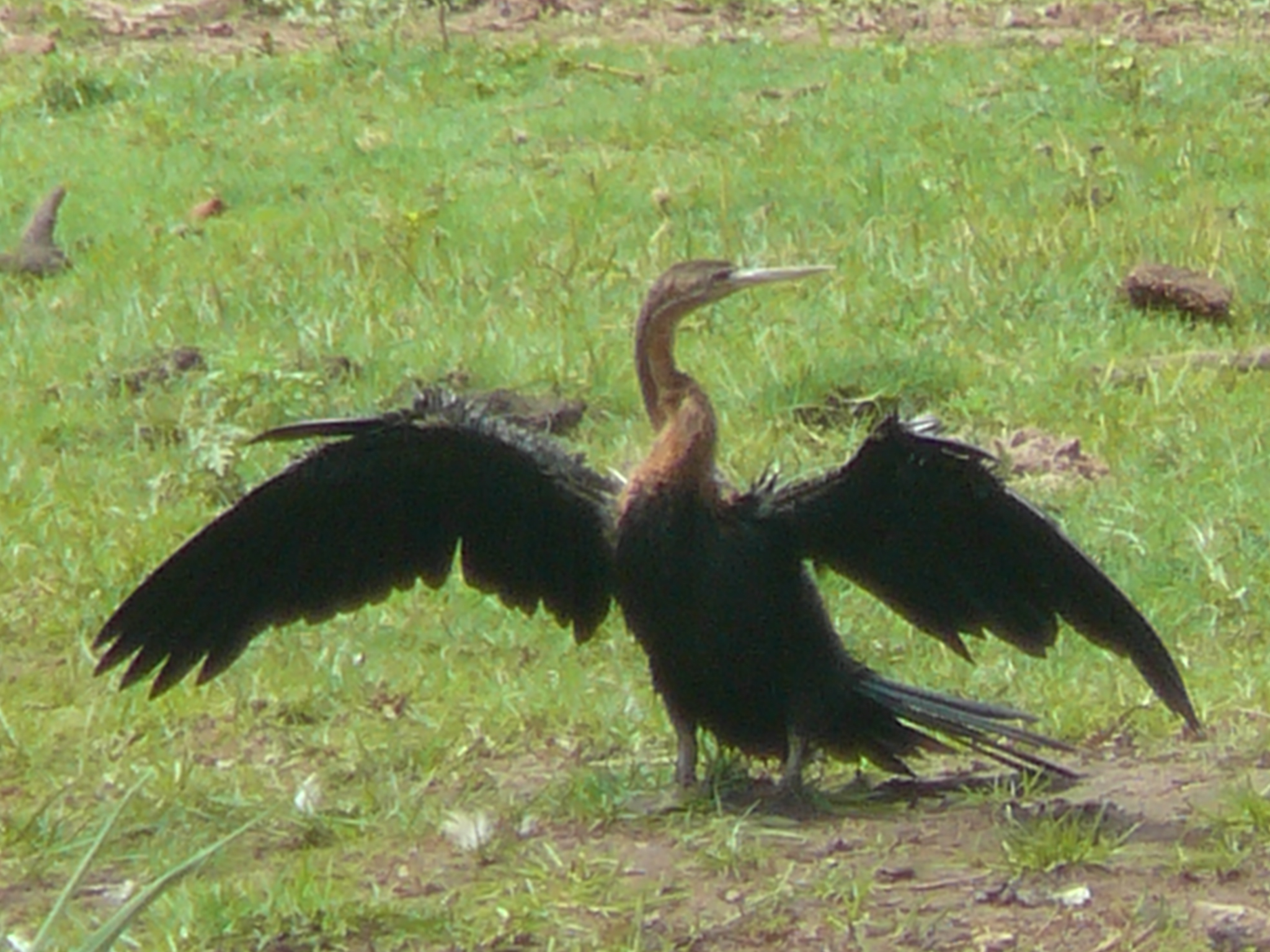 molting-african-darter