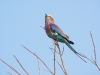 botswanas-national-bird-lilac-breasted-roller