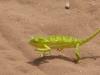 flap-necked-chameleon