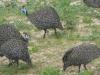 helmeted-guineafowl