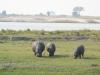 hippos-grazing-chobe-river