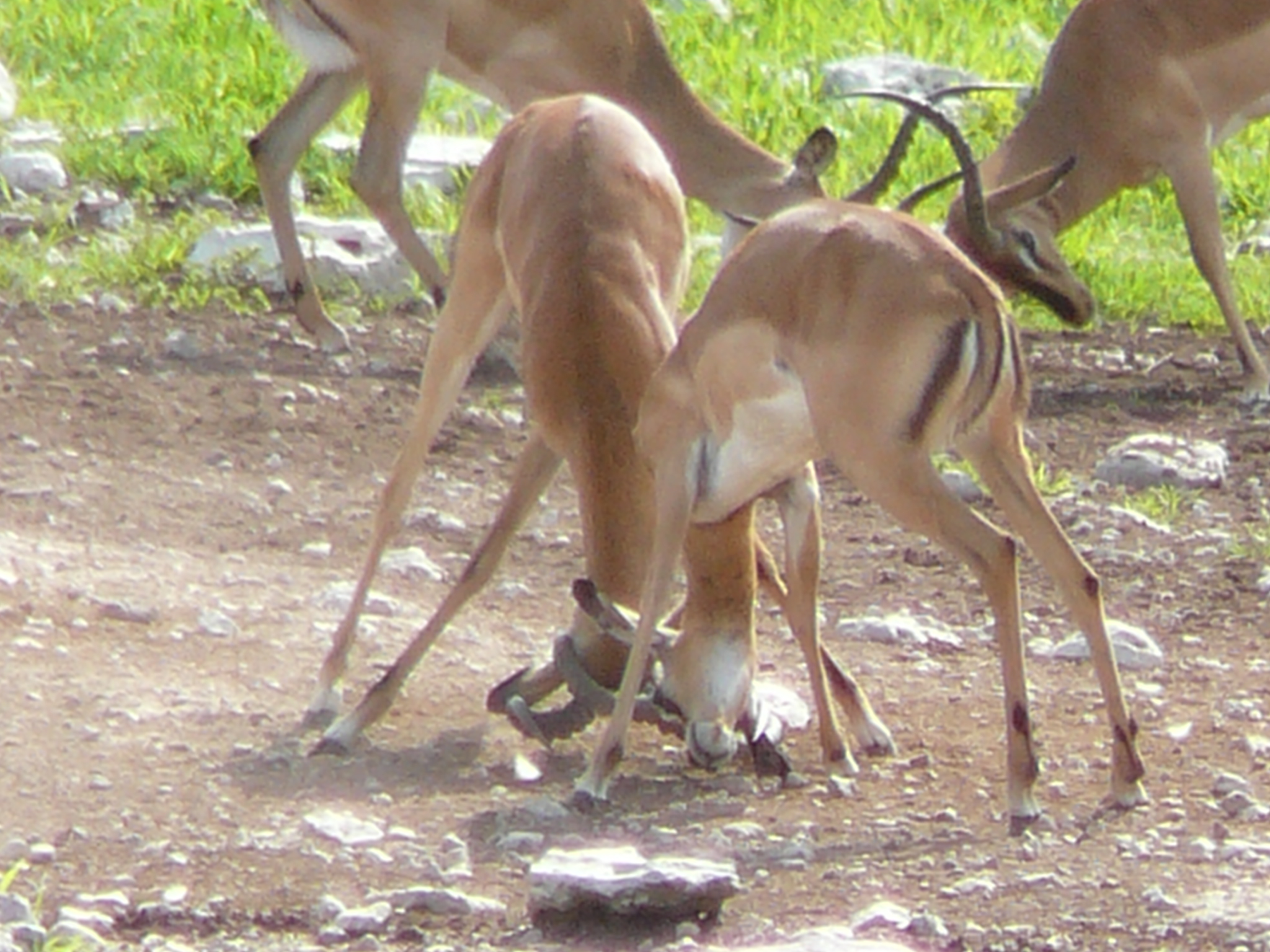 black-faced-impala-sparring