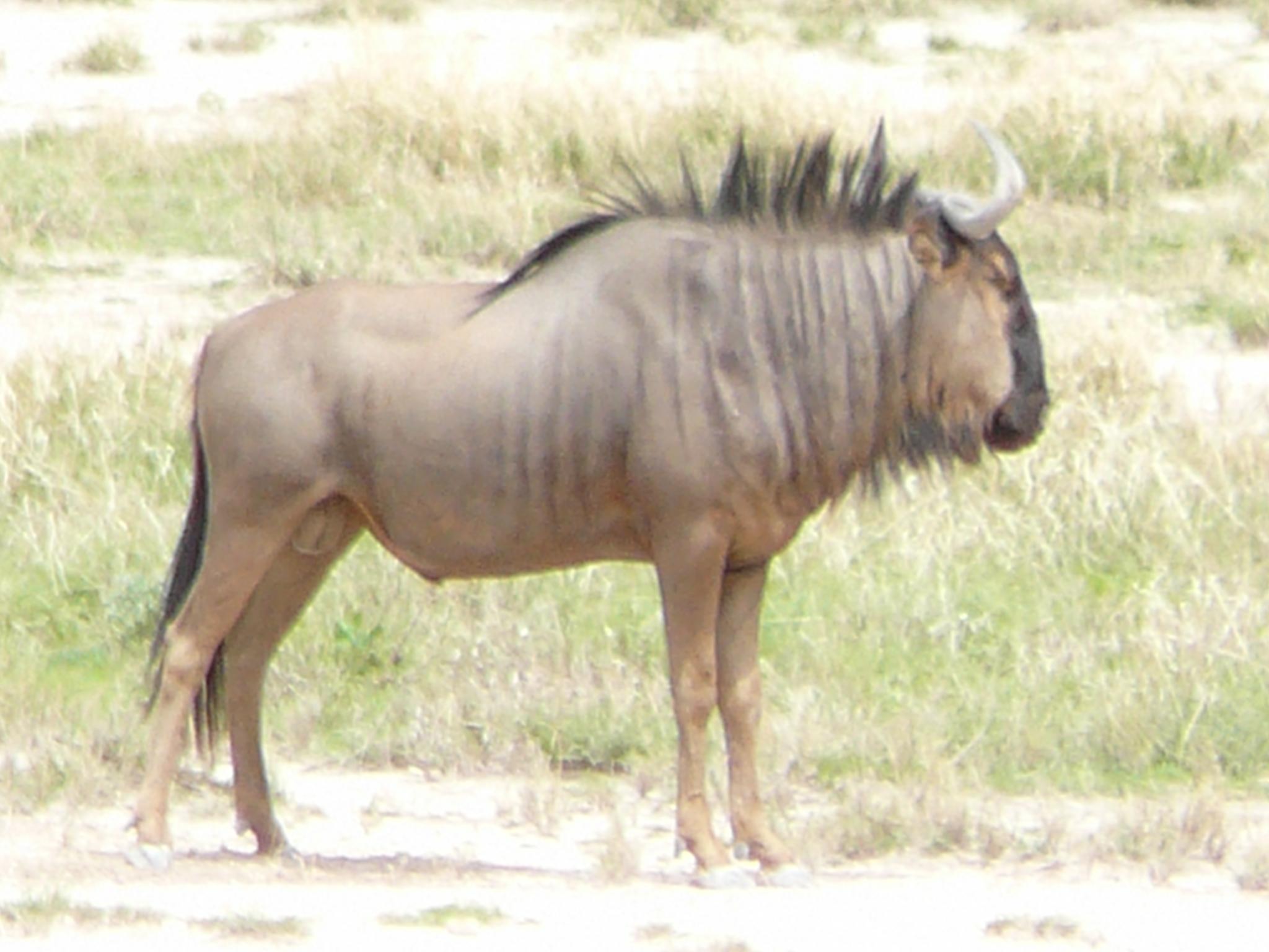 blue-wildebeest