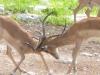 scar-faced-impala