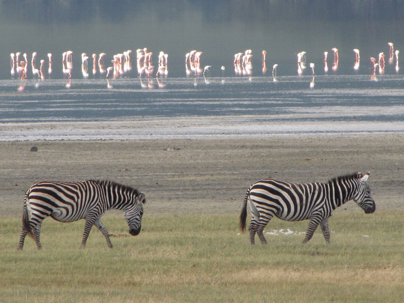 zebra-and-flamingos-ngorongoro-crater