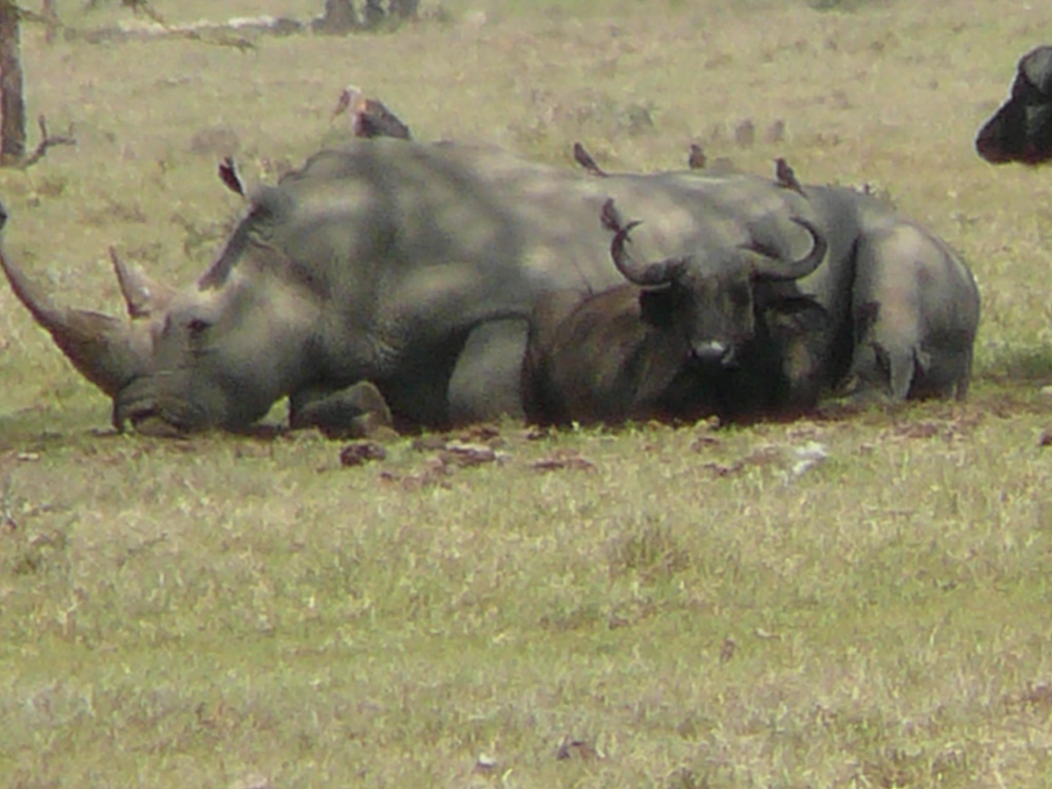 a-white-rhino-and-his-buffalo