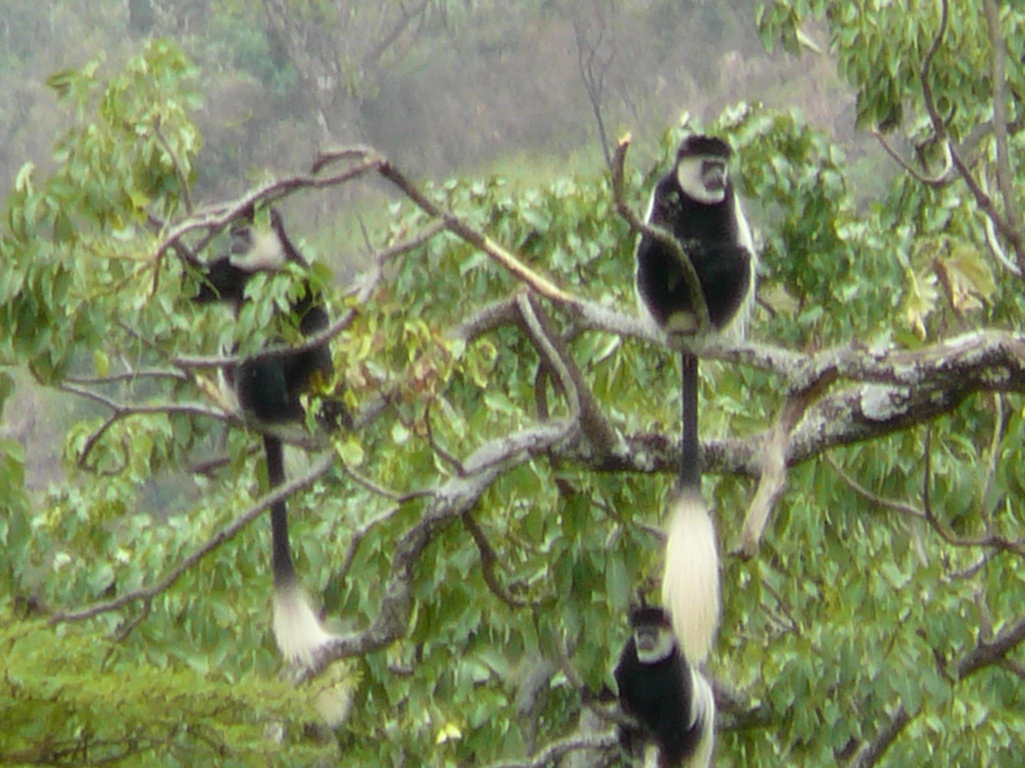 colobus-monkeys