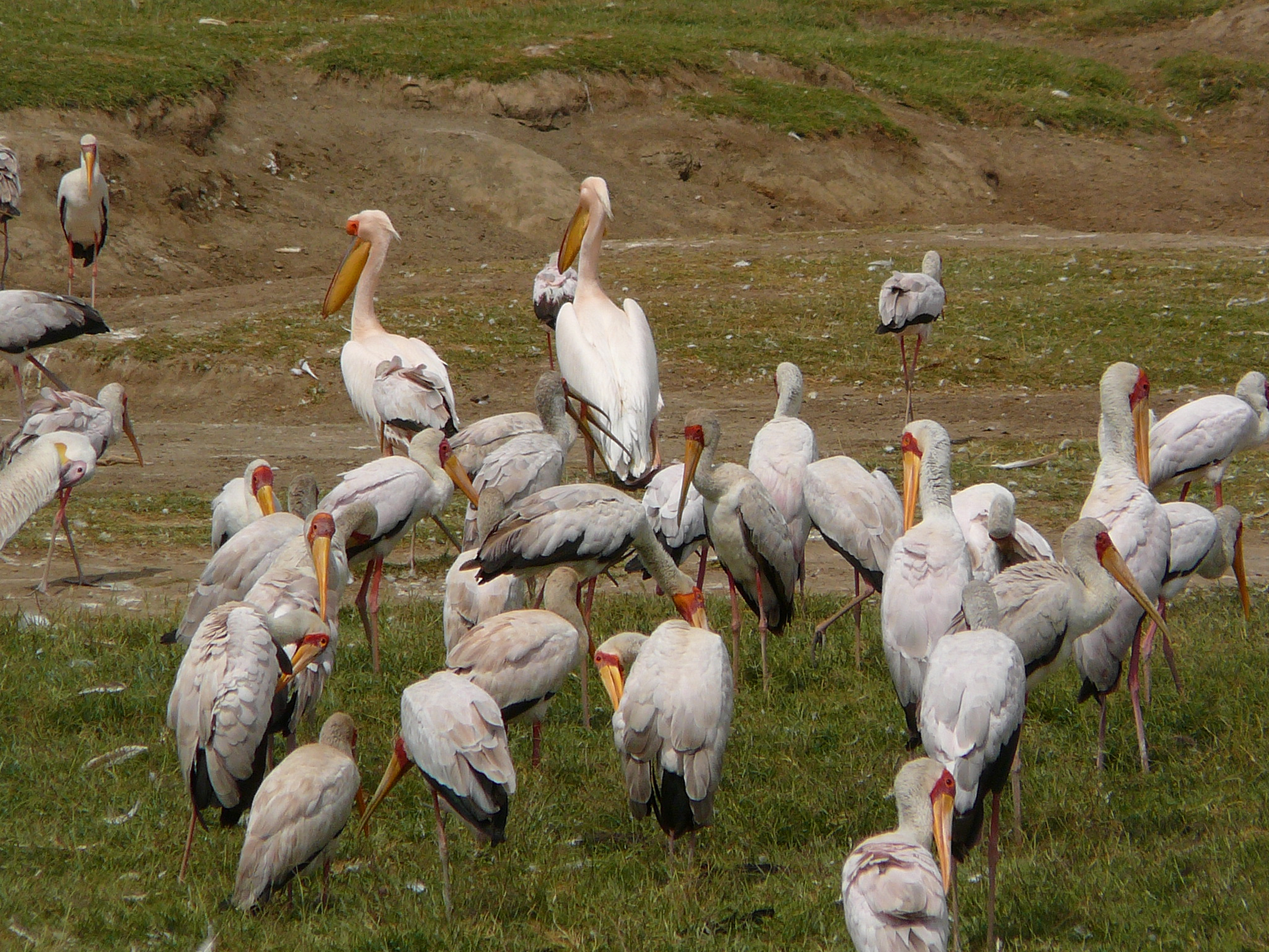 pelicans-and-yellow-billed-storks