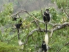 colobus-monkeys