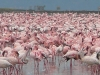 greater-and-lessser-flamingos