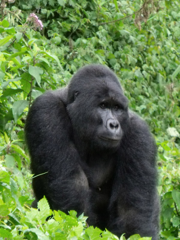 gorilla-male_0