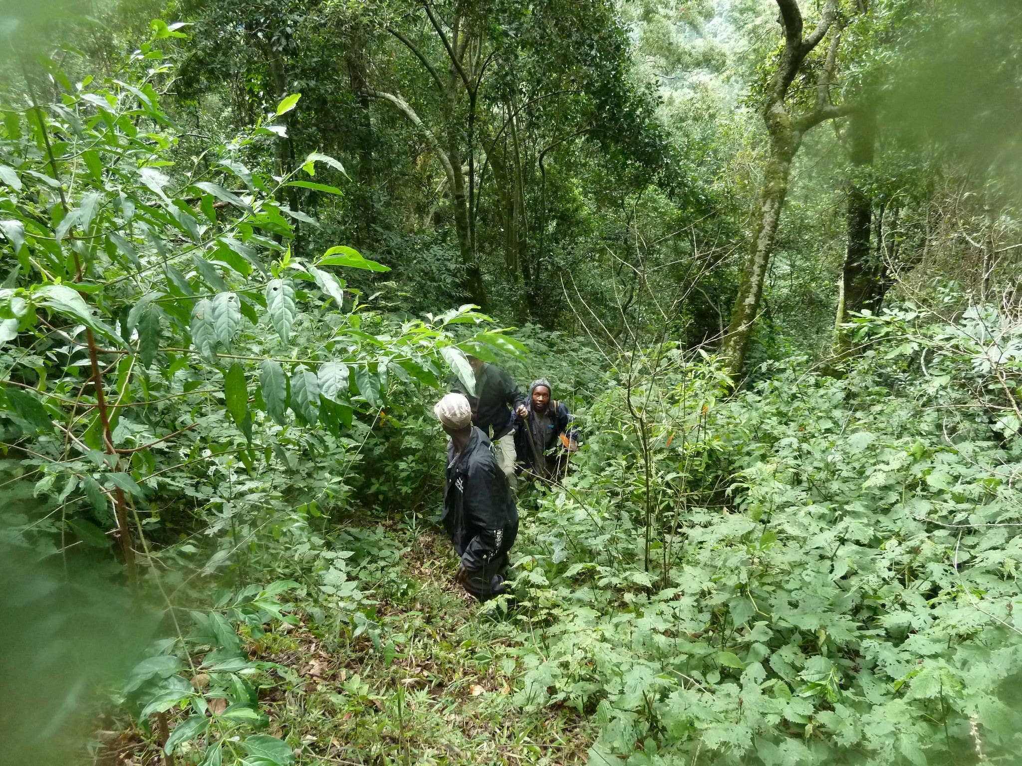 trekking-bwindi-impenetrable-forest-in-uganda