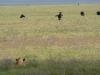 lioness-hunting-wildebeest