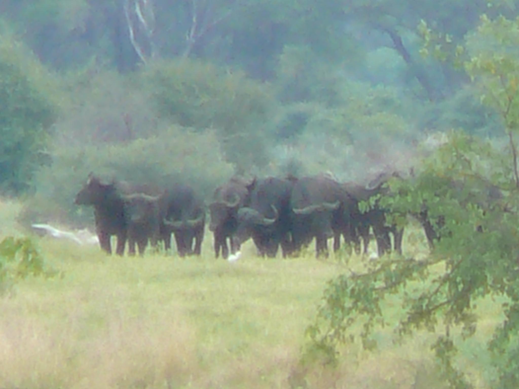 buffalo-in-the-mist