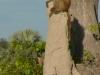 baboon-sentry