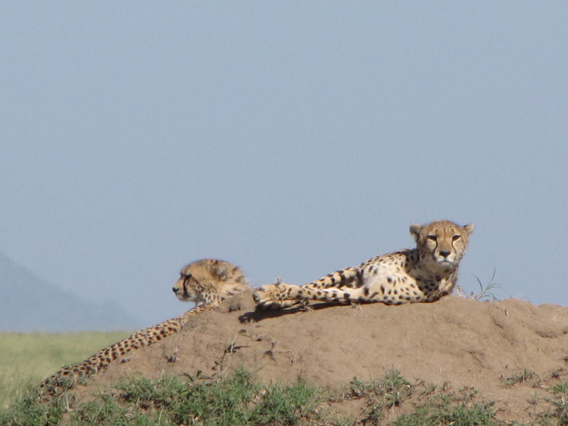 cheetah-on-termite-mound_0