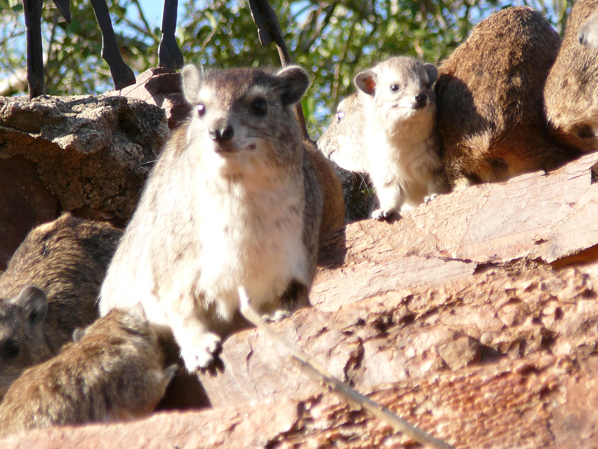 closest-relative-to-the-elephant-hyrax
