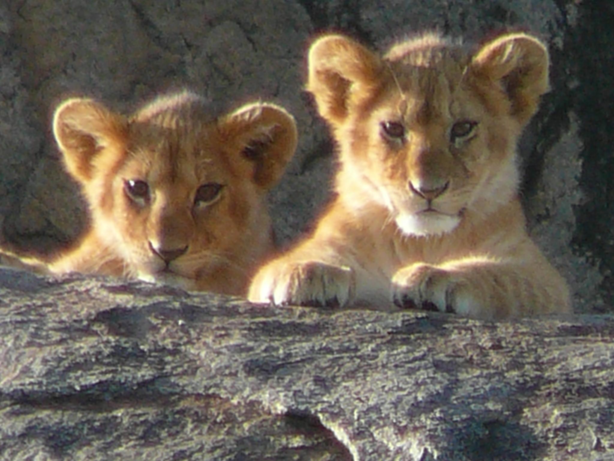 lion-cubs-kopje