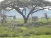 babbon-and-umbrella-thorn-acacia