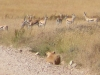 lioness-hunting-thompsons-gazelle
