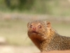 watch-you-lookin-at-dwarf-mongoose